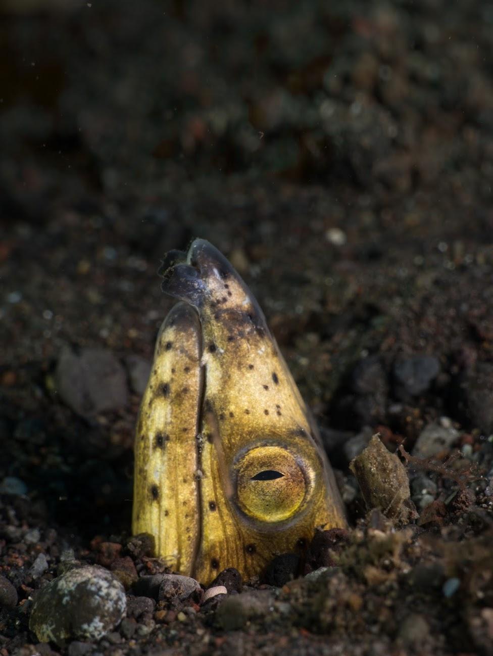Thumbnail of a snake eel.